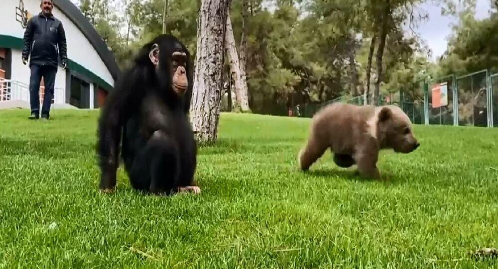 Cucciolo di orso e scimpanzé