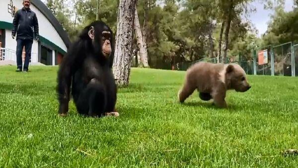 Cucciolo di orso e scimpanzé  - Sputnik Italia