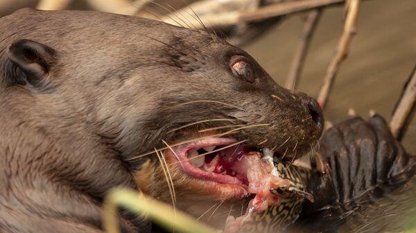 Выдра ест рыбу в парке Encontro das Aguas во время природных пожаров в Бразилии - Sputnik Italia