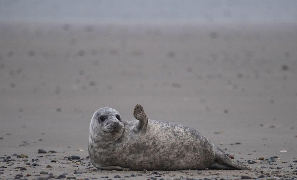 Una foca grigia in spiaggia dell'arcipelago tedesco di Helgoland, il 5 gennaio 2020