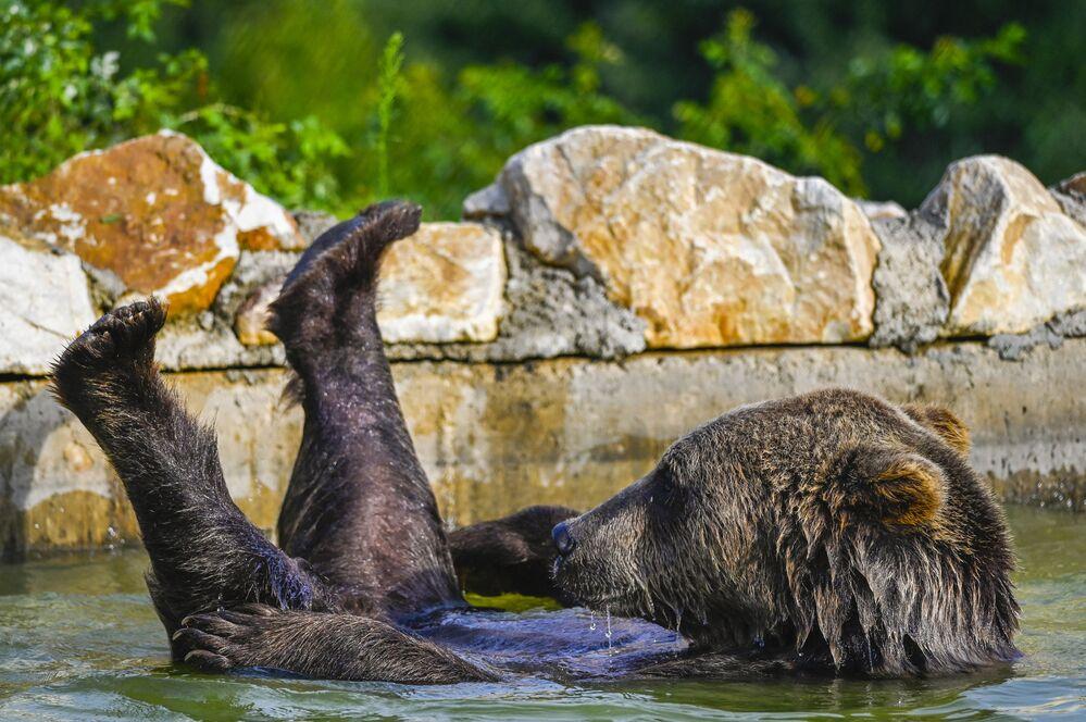 Un orso bruno si raffredda in una piscina presso il santuario degli orsi nei pressi del villaggio di Mramor, Kosovo, il 18 agosto 2020