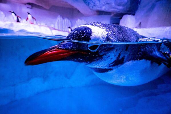 Un pinguino nuota nella sua voliera nell'acquario Sea Life Bangkok Ocean World di Bangkok, 21 aprile 2021 - Sputnik Italia