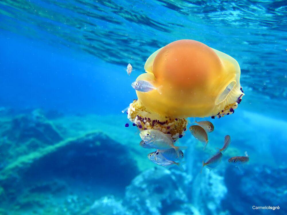 Cassiopea mediterranea, la foto scattata sott'acqua nell' Area Marina Protetta Capo Milazzo