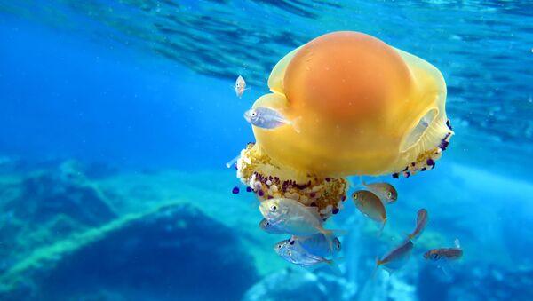 Cassiopea mediterranea, la foto scattata sott'acqua nell' Area Marina Protetta Capo Milazzo - Sputnik Italia