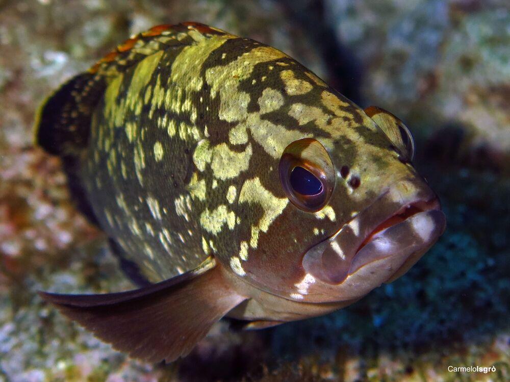 Cernia bruna, la foto scattata sott'acqua nell' Area Marina Protetta Capo Milazzo