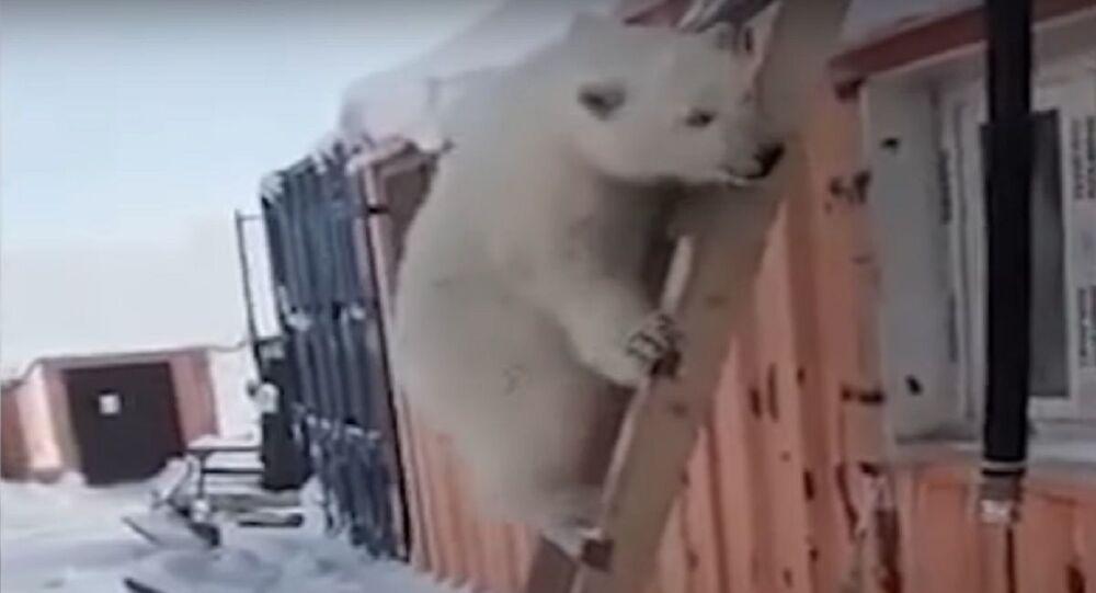 Un cucciolo di orso bianco
