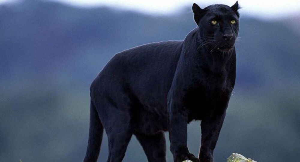 Esemplare pantera nera