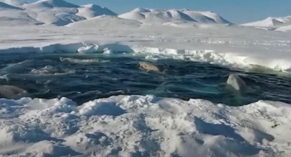 Beluga: sopravvivere alla trappola di ghiaccio