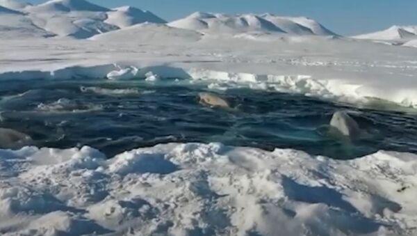 Beluga: sopravvivere alla trappola di ghiaccio - Sputnik Italia