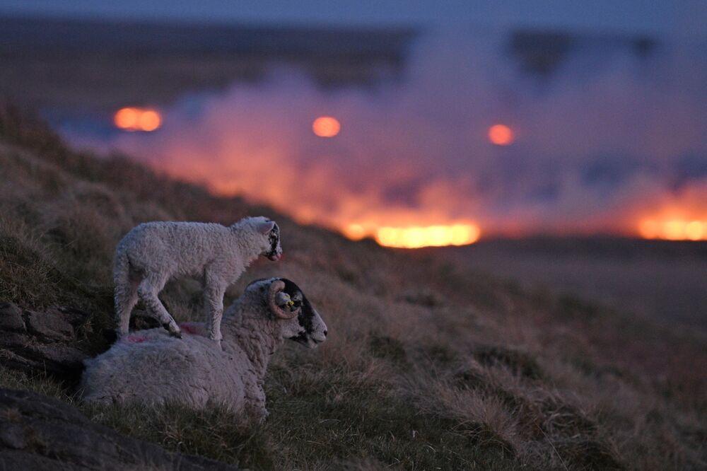 Le pecore su una collina sullo sfondo del fuoco di un incendio a Marsden Marsh, nel nord dell'Inghilterra