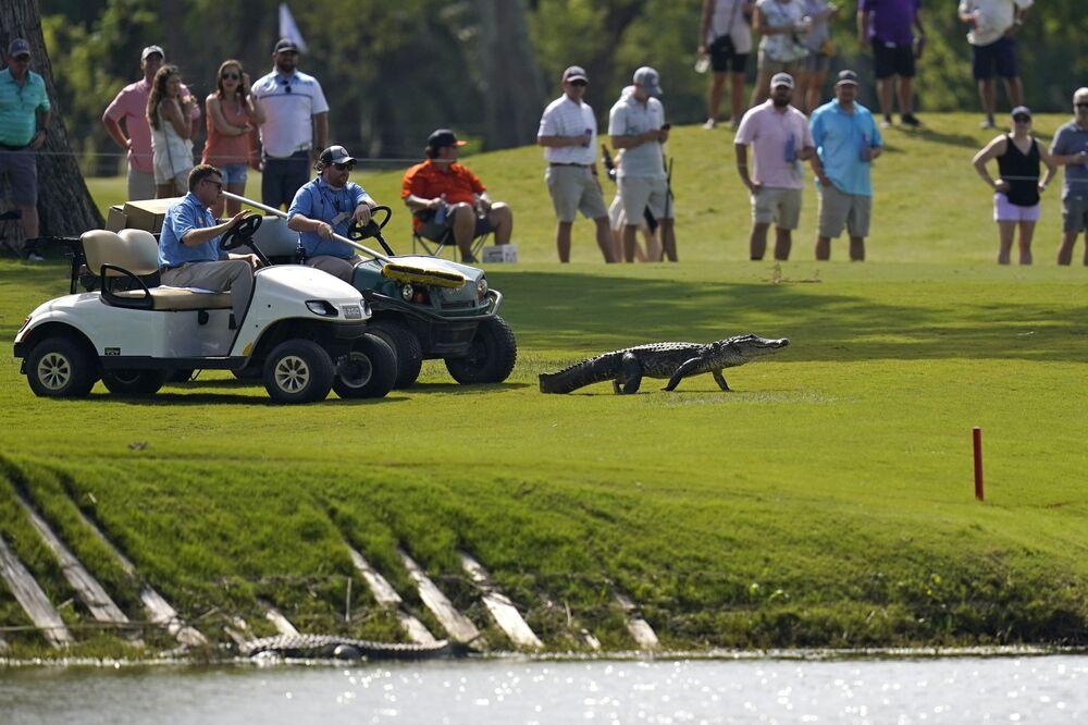 I partecipanti al torneo di golf della Louisiana accompagnano l'alligatore nell'acqua