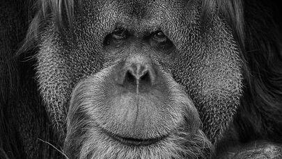 Il primate nella foto del fotografo russo Mikhail Kirakosyan Vi assomigliamo, i cui eroi sono gli animali dello zoo di Mosca