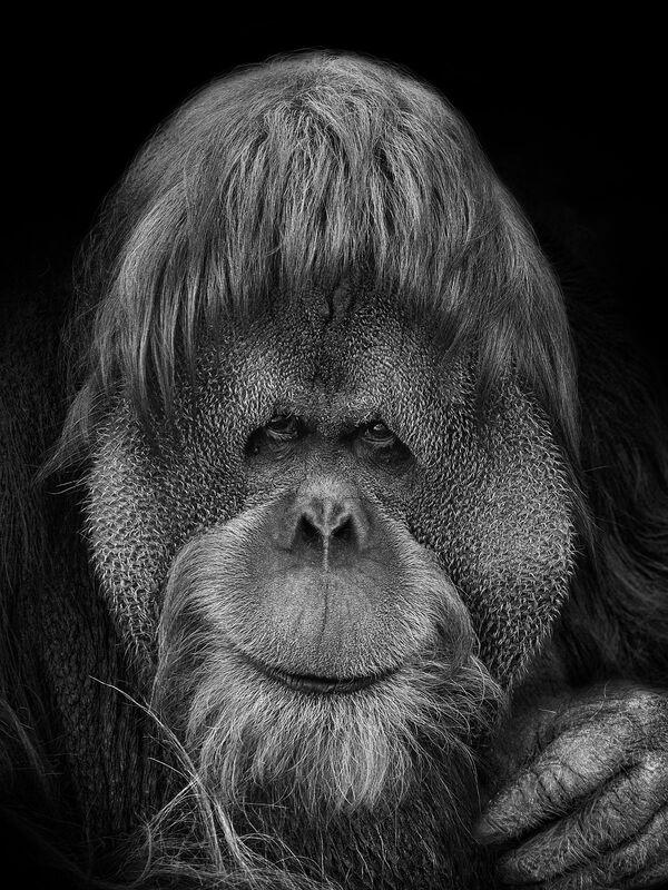 Il primate nella foto del fotografo russo Mikhail Kirakosyan Vi assomigliamo, i cui eroi sono gli animali dello zoo di Mosca - Sputnik Italia