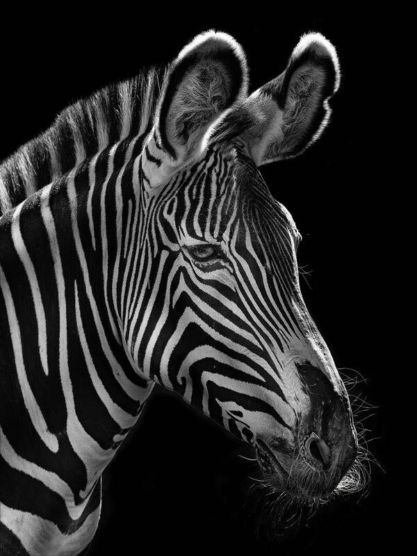 La zebra nella foto del fotografo russo Mikhail Kirakosyan Vi assomigliamo, i cui eroi sono gli animali dello zoo di Mosca - Sputnik Italia