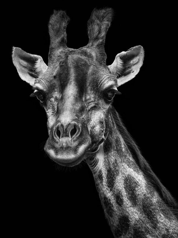 La giraffa nella foto del fotografo russo Mikhail Kirakosyan Vi assomigliamo, i cui eroi sono gli animali dello zoo di Mosca - Sputnik Italia