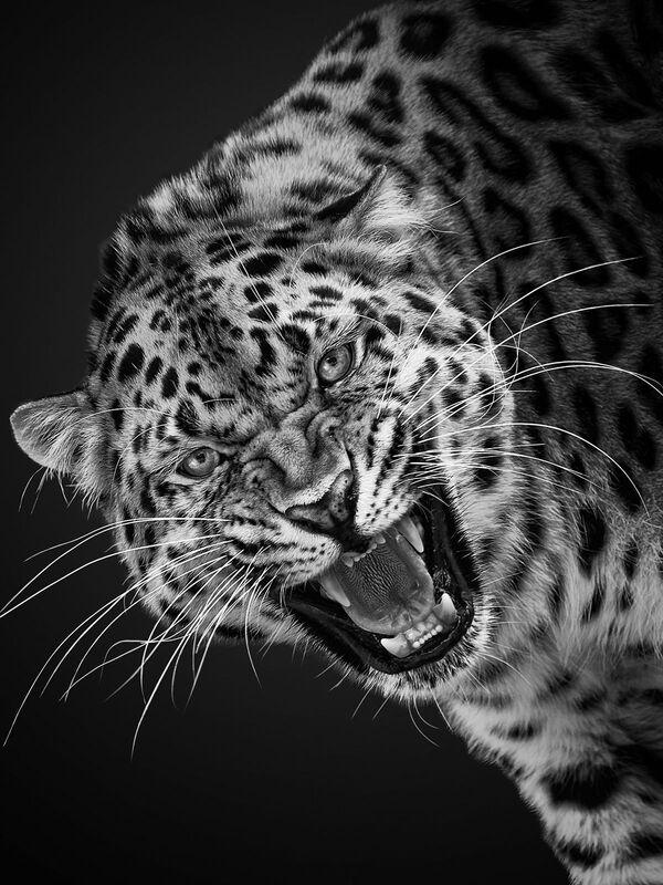 Il leopardo nella foto del fotografo russo Mikhail Kirakosyan Vi assomigliamo, i cui eroi sono gli animali dello zoo di Mosca - Sputnik Italia