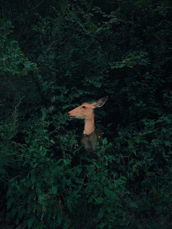 La foto Cervo nascosto nella foresta, del fotografo cinese Jian Cui, vincitrice nella categoria Natura e fauna selvatica della decima edizione del concorso fotografico Mobile Photography Awards - Sputnik Italia