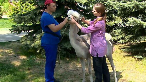Il più stiloso dello zoo: ecco come si fa una pettinatura alla moda a un alpaca - Sputnik Italia