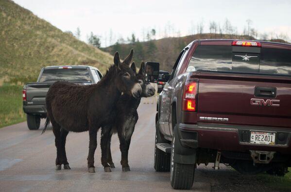 Un paio di burros fermano un automobilista per uno snack lungo la Wildlife Loop Road nel Custer State Park, USA. - Sputnik Italia