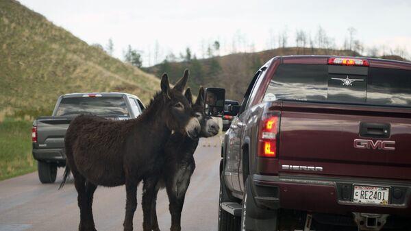 Пара осликов останавливают автомобилиста, чтобы перекусить на кольцевой дороге дикой природы в государственном парке Касте, штат Южная Дакота - Sputnik Italia