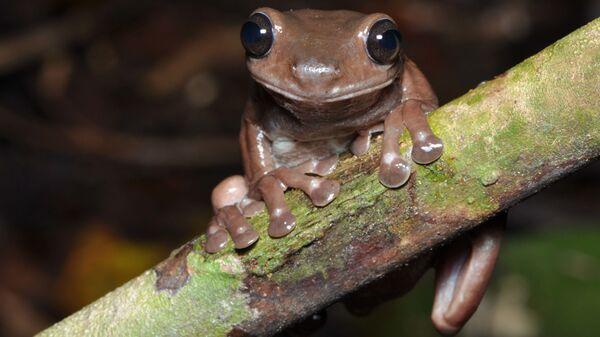Шоколадная лягушка Litoria mira,обнаруженная австралийскими учеными в болотах Новой Гвинеи - Sputnik Italia