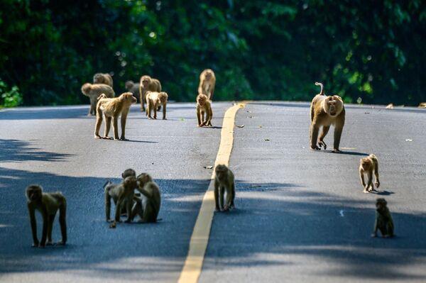 Questa fotografia scattata il 23 marzo 2021 mostra i macachi nemestrini settentrionali che attraversano una strada nel Parco Nazionale di Khao Yai, a circa 130 chilometri a nord di Bangkok. - Sputnik Italia