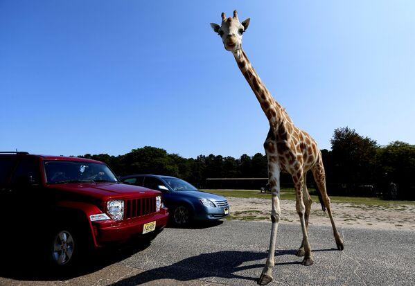 Una giraffa attraversa la strada davanti a due veicoli al Six Flags Great Adventure's Wild Safari, a Jackson, USA. - Sputnik Italia