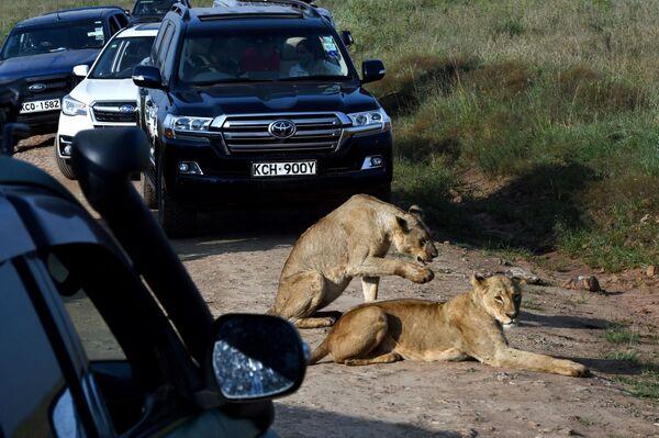 Due leonesse riposano sul lato di una strada nel Parco nazionale di Nairobi, Kenya, 21 giugno 2020. - Sputnik Italia