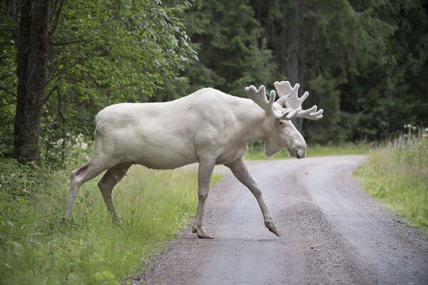 Un raro alce bianco a Gunnarskog,  Svezia. Ci sono solo circa 100 alci bianchi in Svezia. - Sputnik Italia