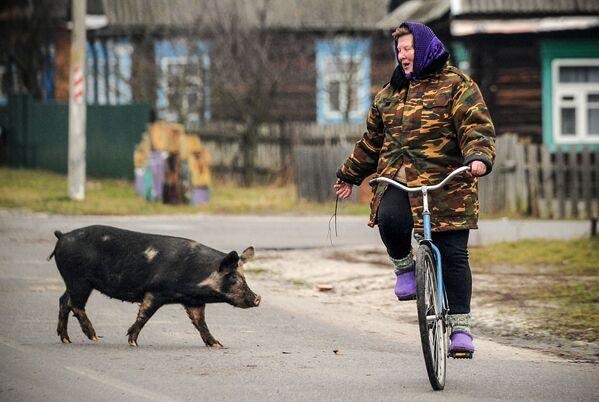 Una donna in giro con la sua bicicletta nota un maiale che attraversa una strada nel villaggio di Tonezh, Bielorussia. - Sputnik Italia