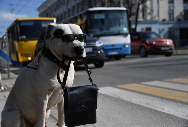 Un cane con gli occhiali tiene una borsa tra i denti in un passaggio pedonale a Simferopol, Russia. - Sputnik Italia