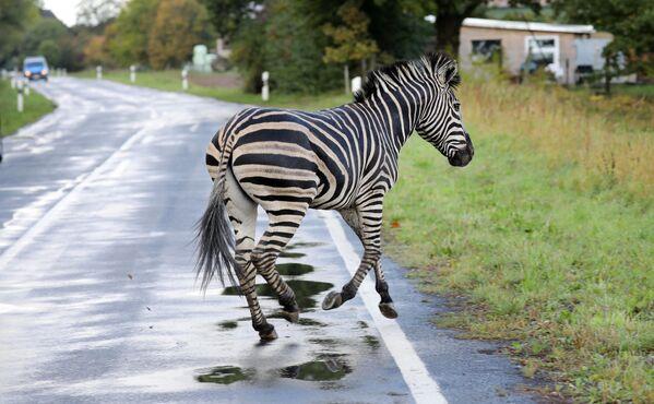 Una zebra attraversa una strada nel villaggio di Thelkow, nella Germania, dopo che l'animale era scappato da un circo con un altro animale e dopo questo aveva causato un incidente sull'autostrada. L'altra zebra era stata catturata. - Sputnik Italia