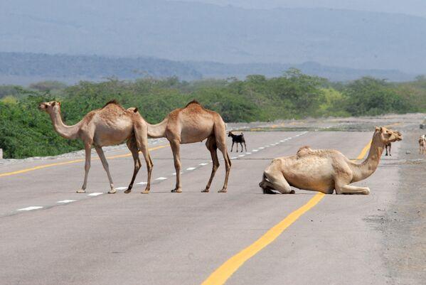 I cammelli riposano sulla nuova strada costiera principale tra Abyan e la provincia di Shabwa in Yemen. - Sputnik Italia