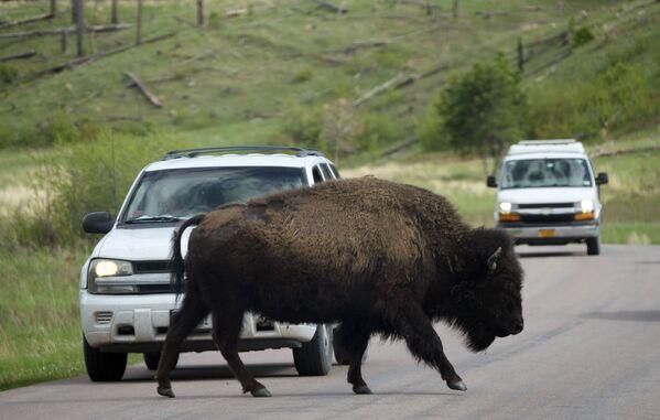 Un bisonte si muove attraverso la strada mentre gli automobilisti si fermano, martedì 25 maggio 2021, USA. - Sputnik Italia