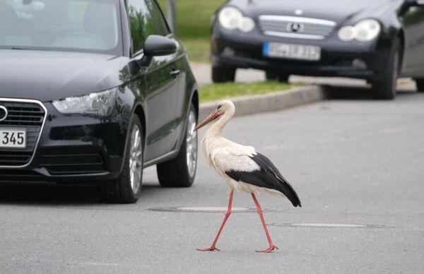 Una foto scattata il 16 maggio 2019 mostra una cicogna bianca che attraversa una strada a Jahnishausen, in Germania. - Sputnik Italia