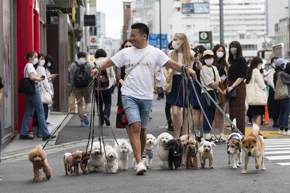 Il dog sitter Nobuaki Moribe con gli animali domestici dei suoi clienti attraversa un incrocio a Tokyo venerdì 28 maggio 2021. - Sputnik Italia