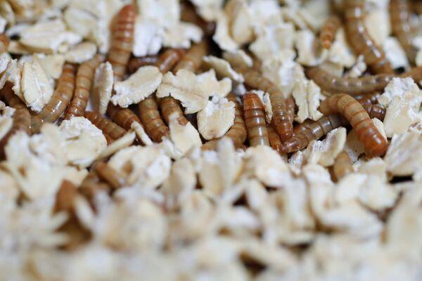 I vermi gialli nel cibo del ristorante Inoveat che serve piatti a base di insetti a Parigi. - Sputnik Italia