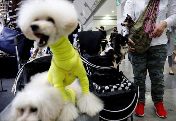 I cani, sebbene stanchi, hanno lasciato la mostra indossando vestiti e giocattoli nuovi. - Sputnik Italia