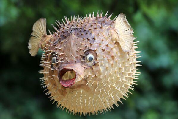 I tetraodontidi sono una famiglia di pesci ossei d'acqua dolce e salata, appartenenti all'ordine Tetraodontiformes, conosciuti comunemente come pesci palla. - Sputnik Italia