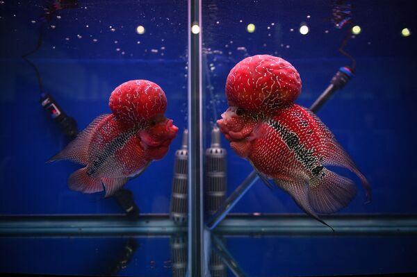 """Il ciclide flowerhorn è un ibrido creato alla fine del XX secolo in Asia partendo da due specie di ciclidi del genere Amphilophus. Il loro nome, letteralmente """"corno fiorito"""", descrive perfettamente l'aspetto fisico di questo pesce non esistente in natura. - Sputnik Italia"""