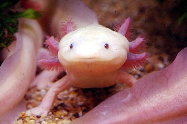 Ambystoma mexicanum, comunemente chiamato axolotl o assolotto, è una salamandra neotenica che vive nel lago di Xochimilco, nei pressi di Città del Messico. È considerato una specie a rischio estremamente alto di estinzione in natura, per diversi fattori, tra quali sono la pesca, l'inquinamento e la perdita di habitat. - Sputnik Italia