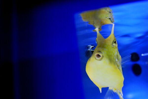 Una foto mostra un pesce esotico in un acquario nell'ambito di una mostra di specie esotiche di pesci, che invadono il Mar Mediterraneo e i fiumi d'Italia, il 17 aprile 2014 al Bioparco di Roma. Il Mediterraneo è il mare che accoglie il maggior numero di specie esotiche invasive, sia vegetali sia animali. Dall'apertura del canale di Suez, nel 1869, si calcola che oltre 400 specie marine (di cui 165 specie di pesci) siano transitate nel mare nostrum, arrivando sia direttamente sia per mezzo delle acque di zavorra delle navi.  - Sputnik Italia