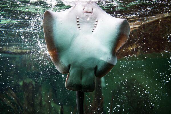 Manta Bancroft è un genere di pesci cartilaginei appartenenti alla famiglia Myliobatidae. Sono i giganti della famiglia, raggiungendo dimensioni imponenti, fino a 6,7 metri di larghezza ed arrivando a pesare più di una tonnellata. - Sputnik Italia