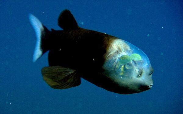 Macropinna microstoma è un pesce marino appartenente alla famiglia Opisthoproctidae, unico rappresentante del genere Macropinna. - Sputnik Italia