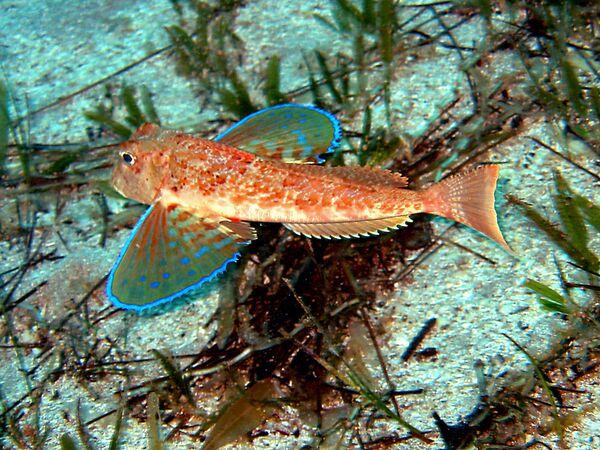 Gli Exocoetidae, noti comunemente come pesci volanti o pesci rondine, sono una famiglia di pesci ossei appartenenti all'ordine Beloniformes - Sputnik Italia