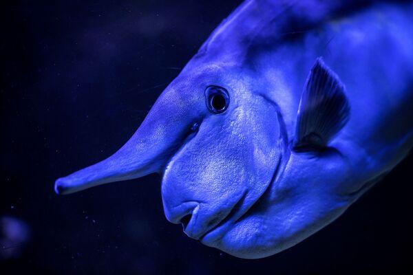 Il pesce unicorno bruno è un pesce di acqua salata, appartenente alla famiglia degli Acanturidi. Oggi sono conosciute circa 16 specie di pesci unicorno, il cui habitat sono esclusivamente le acque tropicali degli oceani Indiano e Pacifico. Questi sono pesci abbastanza grandi. Raggiungono fino a 70 cm di lunghezza. La coda non ha una tacca, ma ha raggi estremi filiformi allungati. Sono dotati di una spina o di una chiglia appuntita. - Sputnik Italia