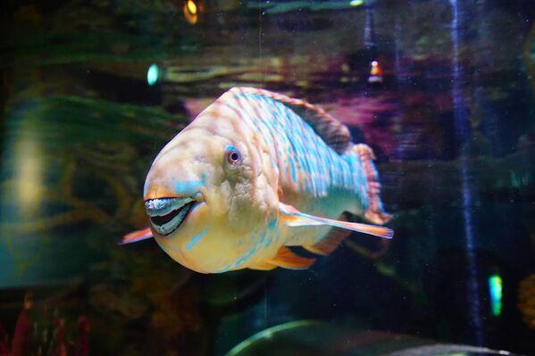 Il pesce pappagallo del Mediterraneo è un pesce osseo marino appartenente alla famiglia degli Scaridae. I pesci pappagallo sono rappresentati da circa 80 specie. La loro distribuzione è quasi completamente tropicale, ad eccezione di un paio di specie che vivono nel mar Mediterraneo. - Sputnik Italia