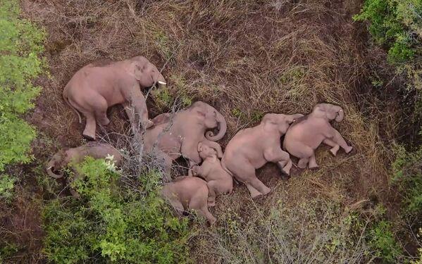 Fli elefanti riposano in una foresta vicino a Kunming, nella provincia sudoccidentale dello Yunnan in Cina. - Sputnik Italia