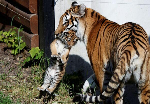 Una tigre siberiana con un cucciolo appena nato allo zoo di Plock, Polonia, il 7 giugno 2021.  - Sputnik Italia