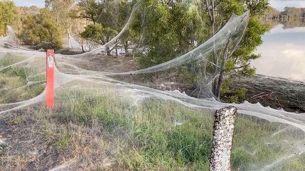 La ragione di questa attività dei ragni sono le forti piogge che hanno colpito lo stato. - Sputnik Italia